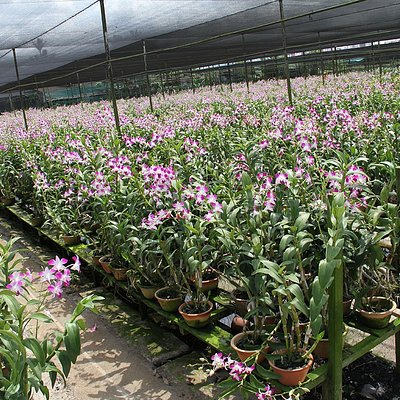 We are one of the largest orchid nurseries in Singapore.