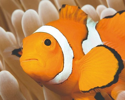 Colourful clownfish in the marine research lab