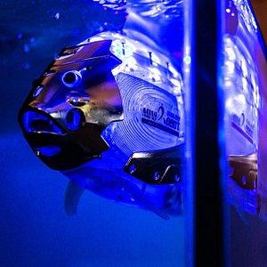 Перед Вами роботы-рыбы, которые приехали на Робостанцию из Южной Кореи. Они поселились на выставке позднее других роботов, но уже успели со всеми подружиться. У наших роботов прозрачные корпуса, чтобы Вы могли изучить внутреннее устройство.