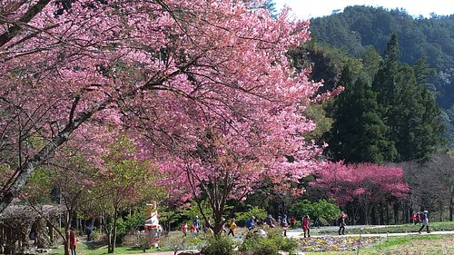 2019武陵農場櫻花季 Cherry Blossom in the Valley of Wuling,Taiwan