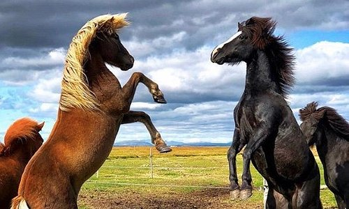 The Icelandic horse is amazingly powerful