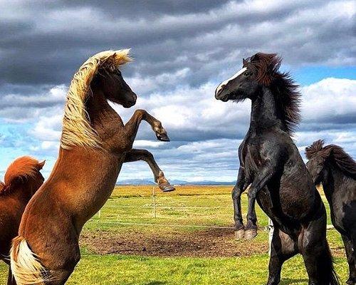 The Icelandic horse is amazingly powerful