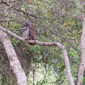 This is the male barred owl before the female appeared.
