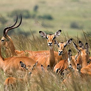 kobs at mikumi national park Tanzania