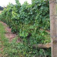 Set among the vines