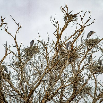 Great Blue Herons return to their nests at the Tres Rios Wetlands after a day of foraging along the Salt river.