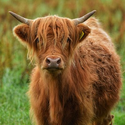 Our Highland calves