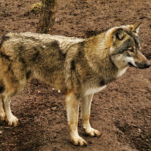 Ragnar, the European wolf at, The Little Zoo.
