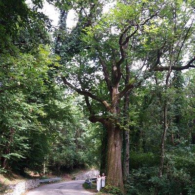 """Castagno ultrasecolare """"di Pirone"""", si trova sulla strada che da Clauzetto va verso Pradis di Sotto, in località Corgnal. Come si può notare l'imponenza del Castagno rpportandolo alle due persone vicile. Vale la pena soffermarsi e fare una visita."""