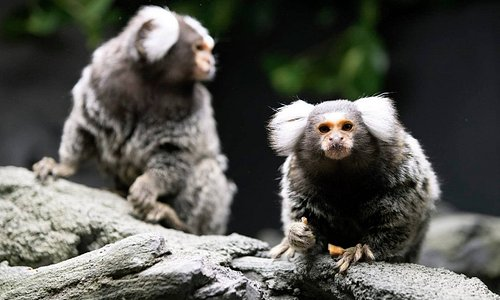 Our mischievous Marmosets