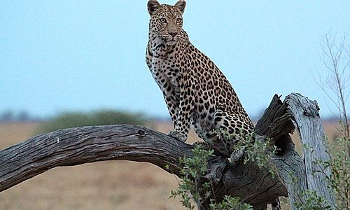 Fun fact: a leopard can see 7 times better in the dark then humans!
