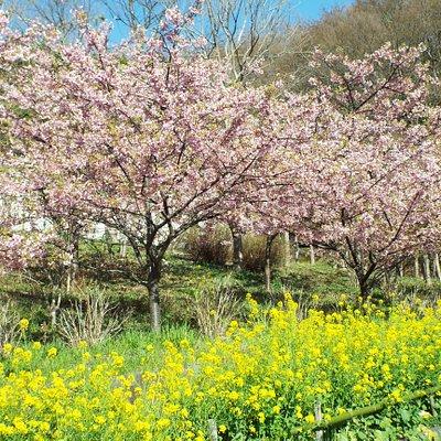 桜と菜の花が満開でした。