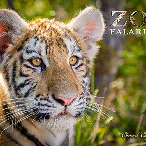 Zaya, jeune tigresse de l'Amour (5 mois)