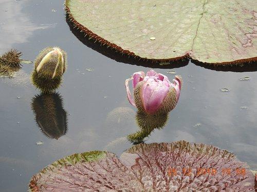 Victoria Lily