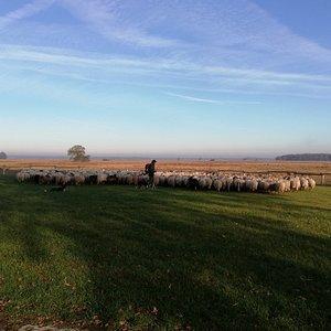 De kudde wacht nog even op de herder voordat ze de heide op gaan