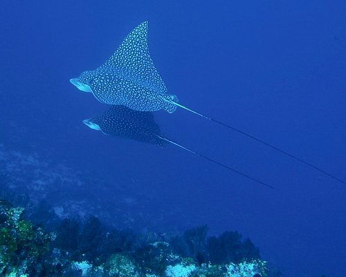 Two spotted Eagle Rays