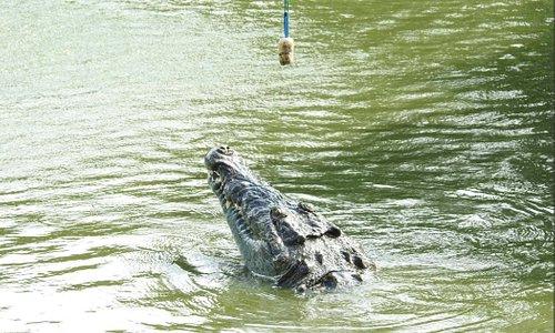 Verás a nuestros guías alimentar a nuestros cocodrilos.