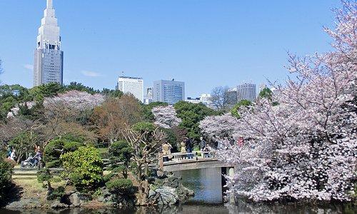 新宿御苑管理事務所 日本庭園 春のさくら Sinjuku Gyoen National Garden. Cherry Blossoms
