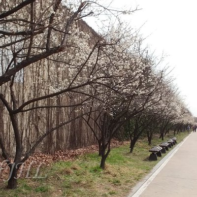 Japanese apricot flowers at Hadong Maesil Geori