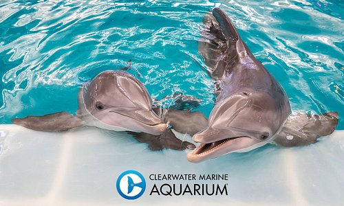 Clearwater Marine Aquarium is the home of Winter and Hope, featured in the Dolphin Tale movies, and dedicated to the rescue, rehab and release of marine life.