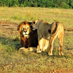 A honeymoon Lion Couple(meaning that the female is in estrus and that they have therefore isolated themselves from the pride in order to mate) in Masai Mara, Kenya