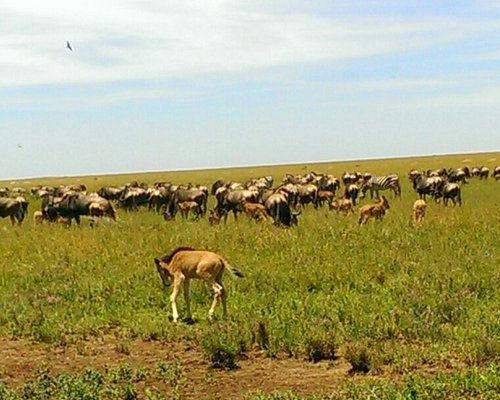 Mid February as peak season for great migration special wildebeest give bith for new baby as known as calving season