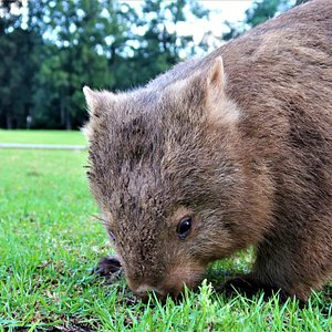 Wild Bare Nosed Wombats