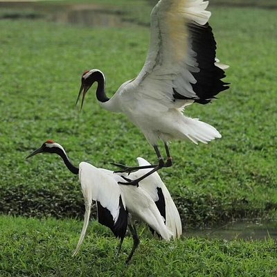 Red-crowned Crane & its courtship ritual