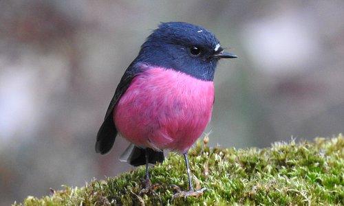 Pink Robin at Inala