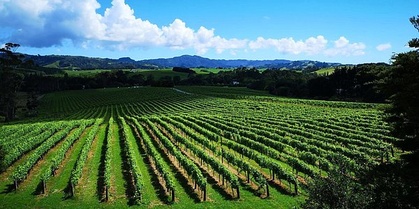 Matakana Estate VIneyard, See our huge area!