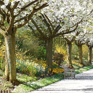Allée des cerisiers en avril