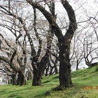 公園内のソメイヨシノ 2019年3月28日撮影写真