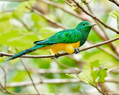 African Emerald cuckoo is one of the outstanding and beautiful species of Cuckoo every Birder wish to see and Photograph in Ghana.