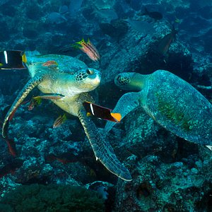 Tortues marines aux Galapagos