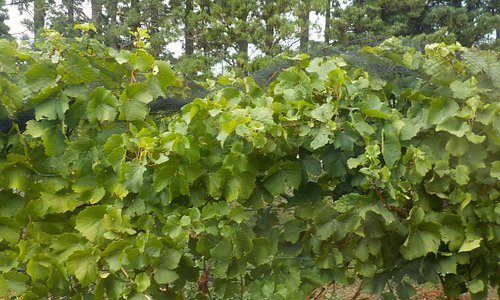 Vines just picked