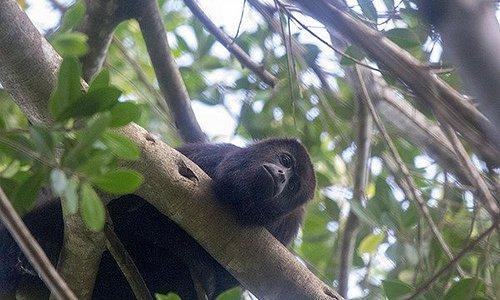 Stars of the jungle trek, the howler monkeys.