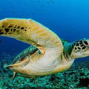 turtle at gili air divers