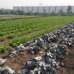 Chondhe farms