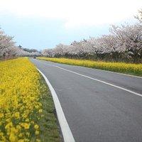 녹산로유채꽃길