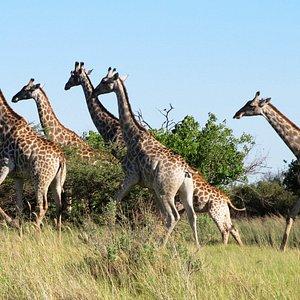 Giraffen im Moremi Reserve