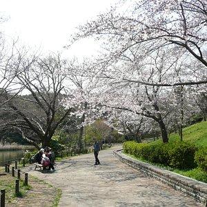池の畔に咲いていた桜花爛漫の桜