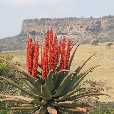Aloe and Krantz