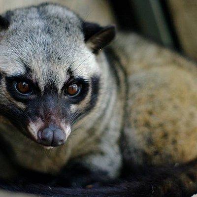 Civet feeding sessions