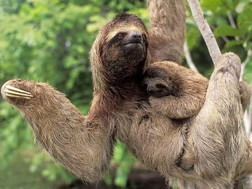 Looking for To see Sloth in Costa Rica ? Hiking in the Tropical Rain Forest with waterfall is the tour recommended for you.