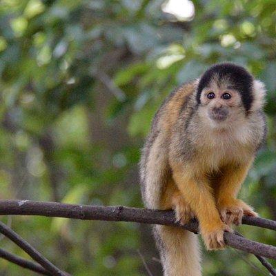 Bolivian squirrel monkey  ボリビアリスザル