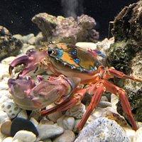 Painted Crab - so beautiful