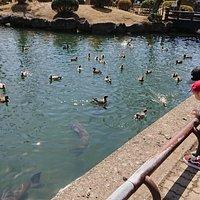 三ツ寺公園 カモとコイがたくさん
