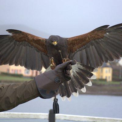 Mary, our harris hawk.