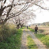 白井市今井の桜。 2km続く用水沿いの桜並木。 里の春をしみじみと味わえます。