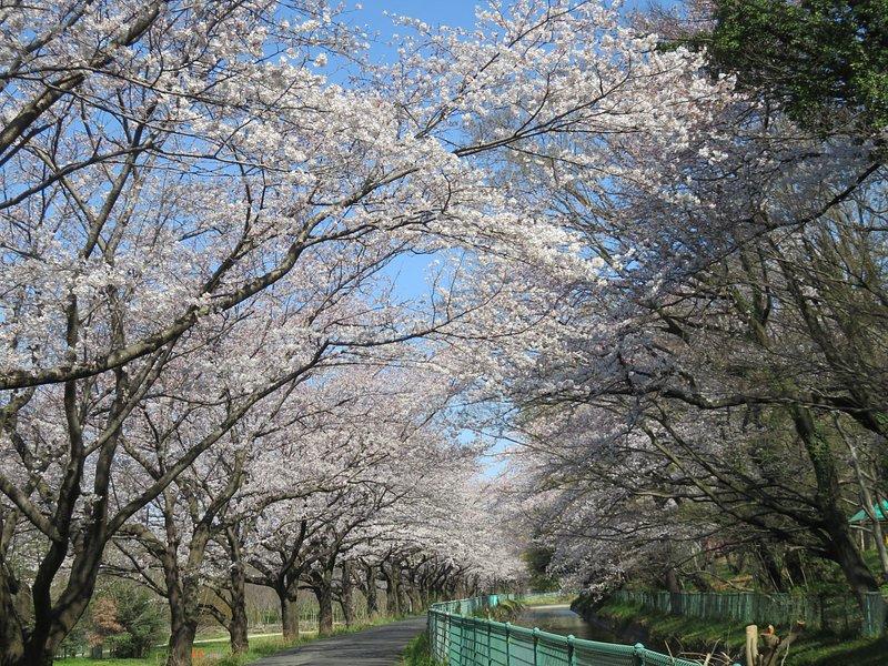 埼玉県 見沼用水にかかる桜の道